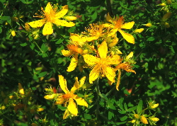 St Johns Wort - a red natural dye plant