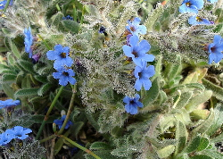 Alkanna tinctoria in flower (Jean Tosti) - a blue natural dye