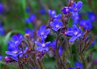 False Alkanet flowers - a blue natural dye