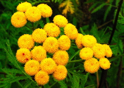 Tansy flowers - a yellow natural dye plant