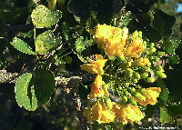 Mexican Logwood in flower | Wild Colours natural dyes
