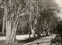 Avenue of Logwood trees in Cuba 1916 | Wild Colours natural dyes
