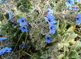 alkanet - blue colours - natural dyes